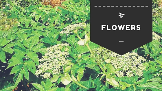 Ashitaba Flowers